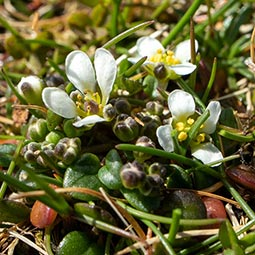 Danish Scurvy-grass