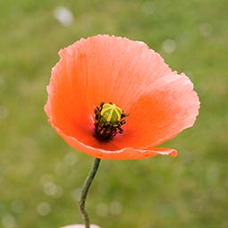 Long-knecked Poppy