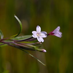 Marsh Willowherb